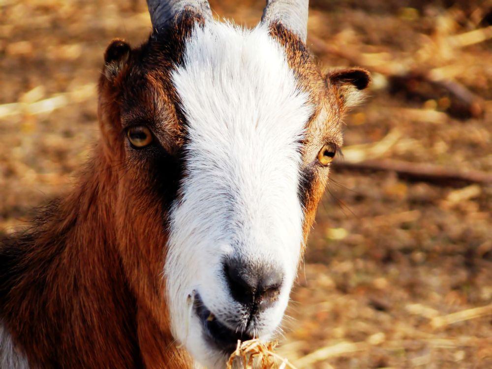 Photo in Animal #goat #mammal #animal #macro