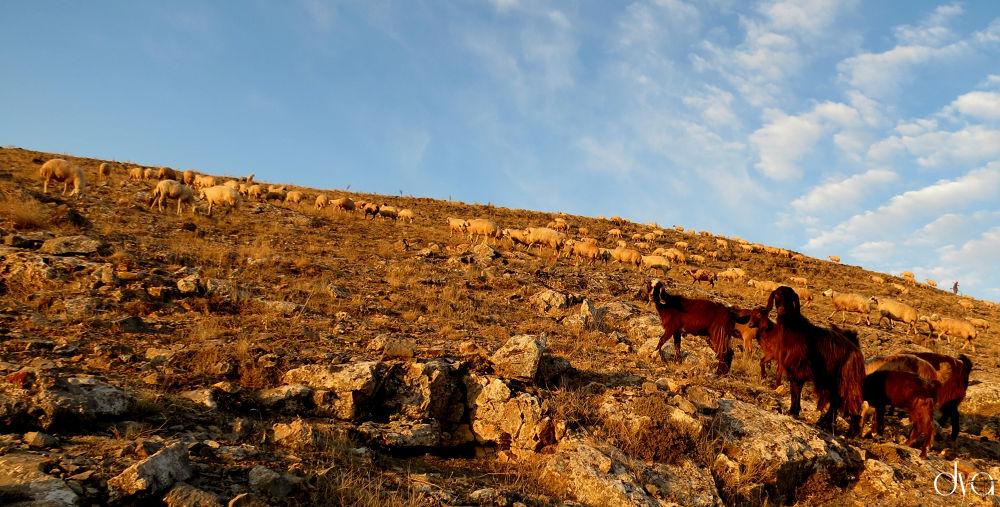 Photo in Nature #koyun #keçi #oğlak #doğa #dağ