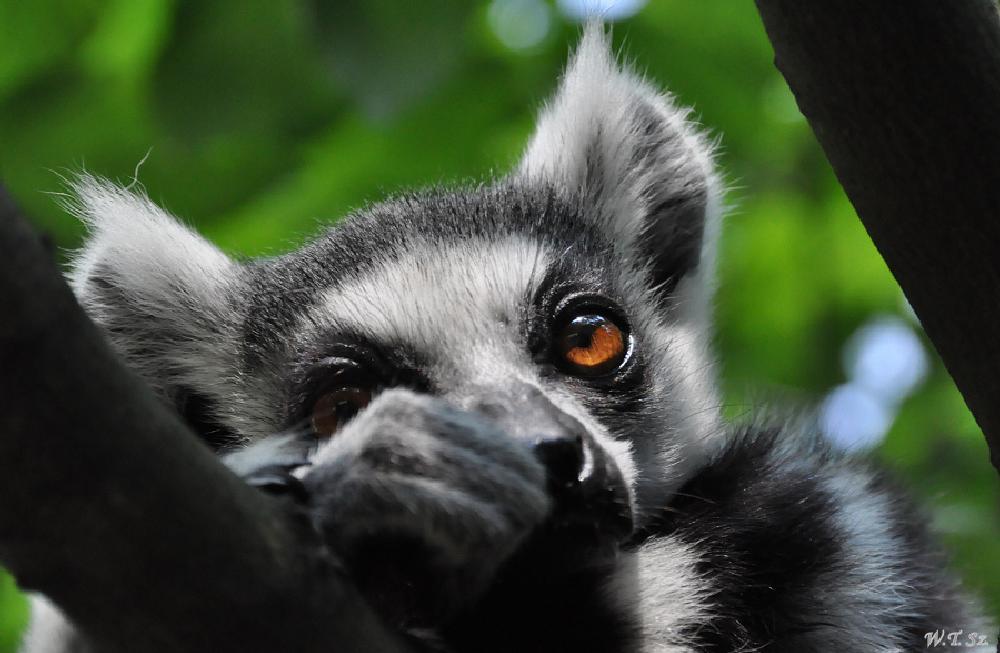 Photo in Animal #ring-tailed lemur #katta #lemur katta #zoo #opole #nikon #nikon d5000 #animals #nature