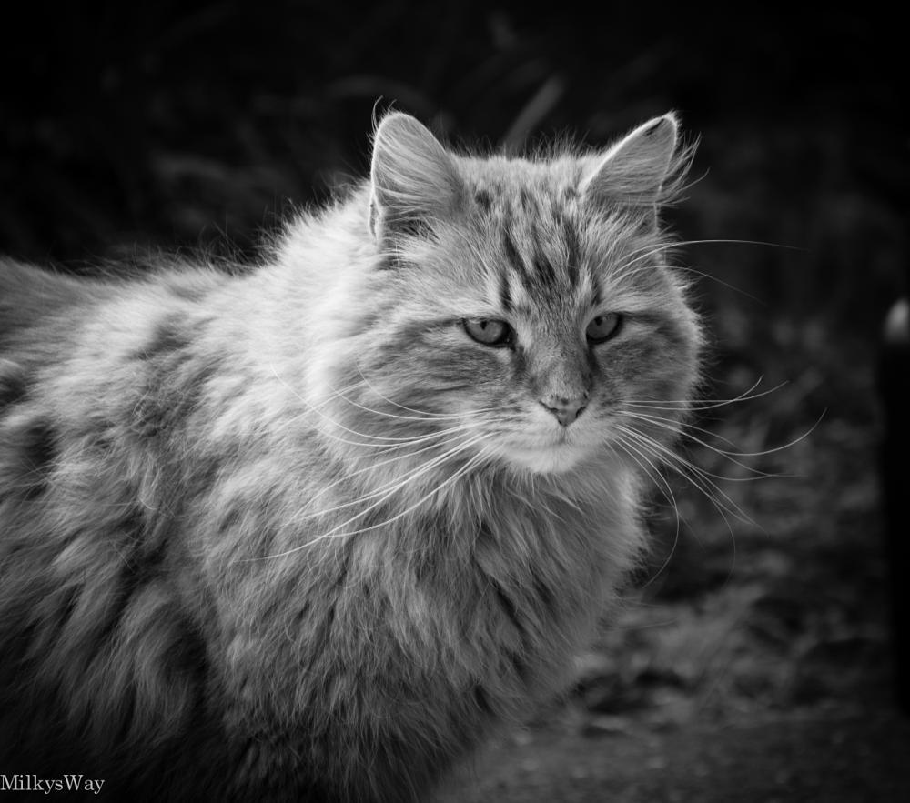 Photo in Animal #cat black&white #b&w animal
