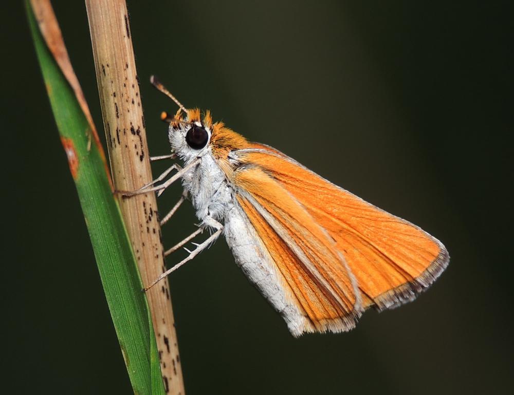 Photo in Macro #florida skipper butterfly #skipper butterfly #butterfly