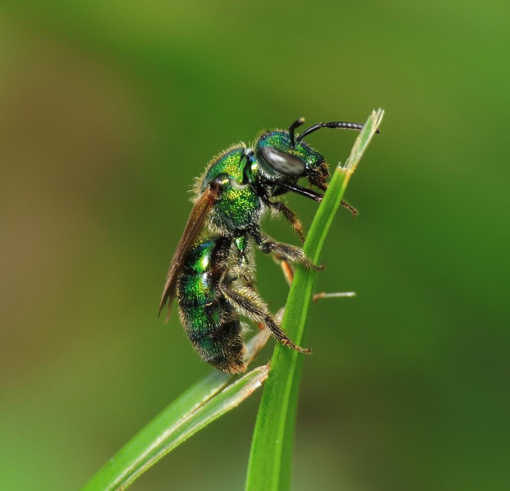 Photo in Macro #florida green bee #green bee #bee
