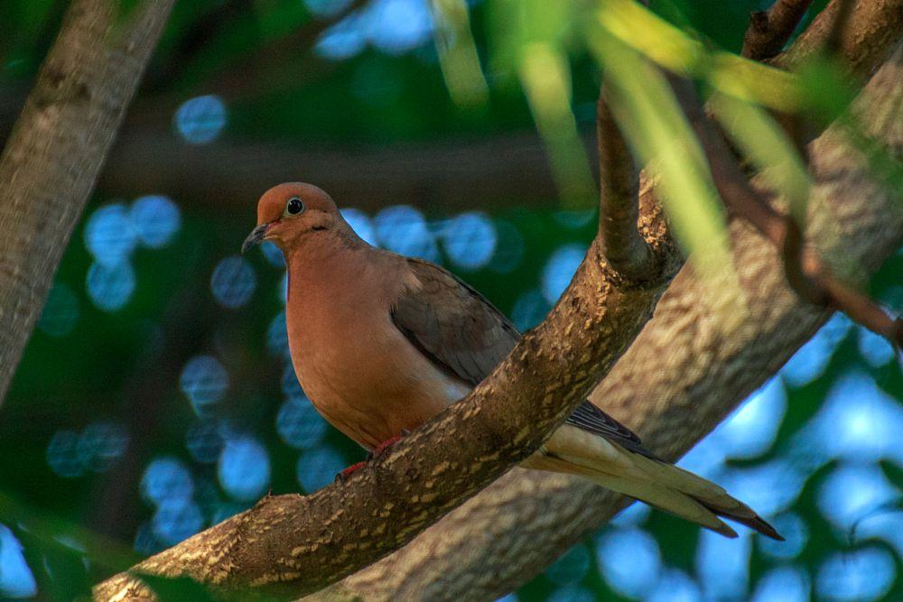 Photo in Animal #bird #mourning dove #back yard #tree #branch #summer #june