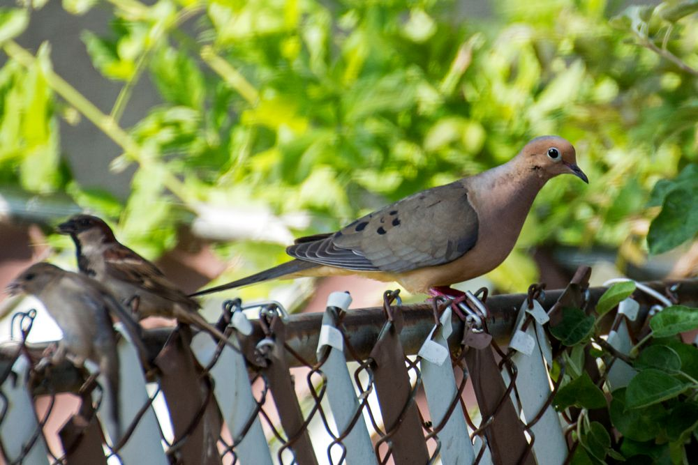 Photo in Animal #bird #mourning dove #sparrows #summer #june #back yard