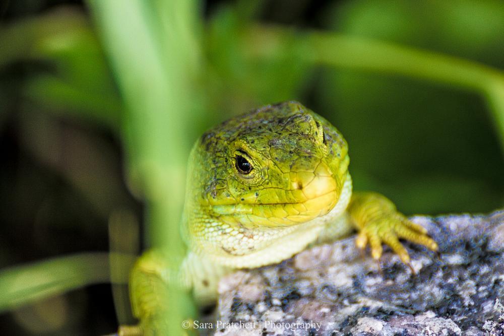 Photo in Animal #lizard #lagarto #laxe #galicia #2015 #verde #reptil