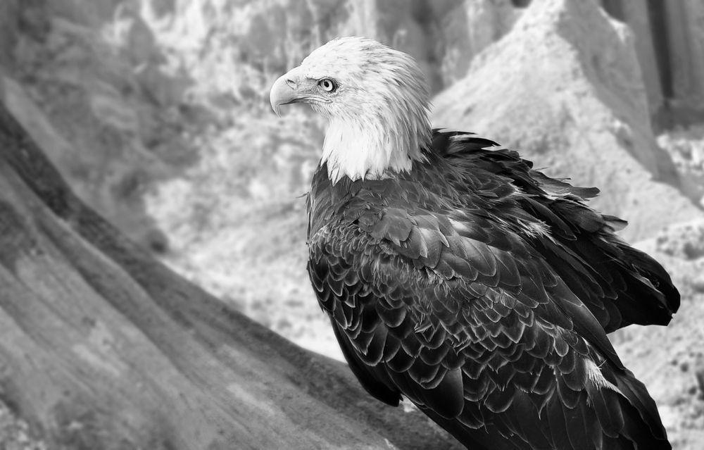 Photo in Animal #eagle #bird #air #nature #animal #hunter #look