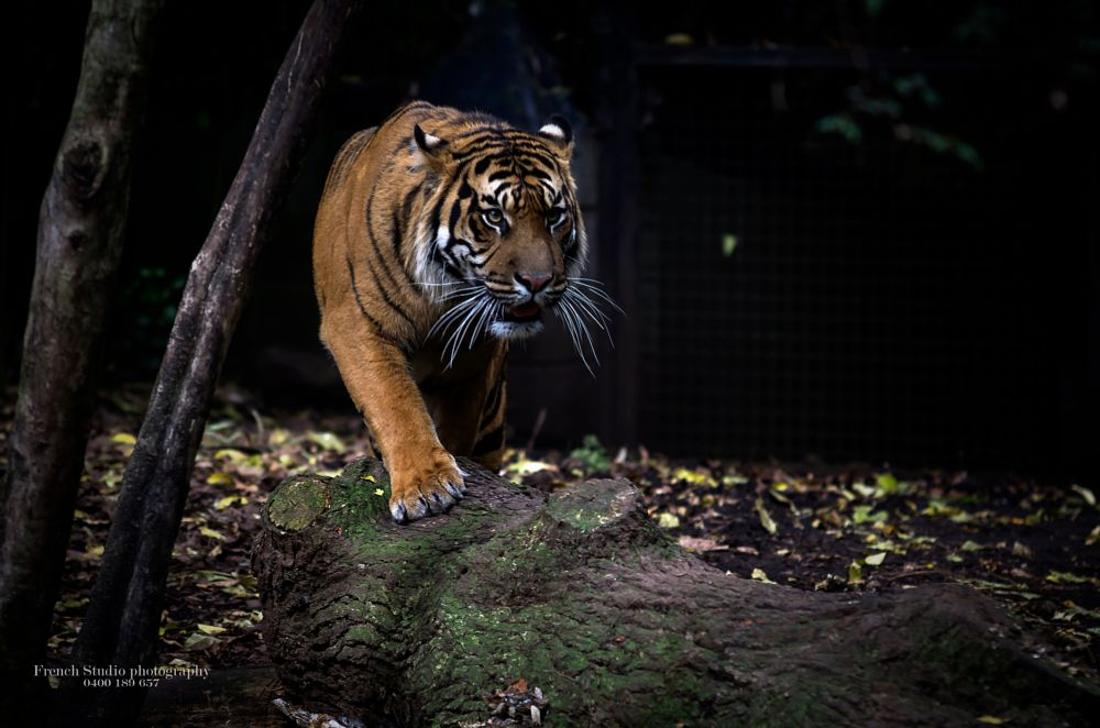 Photo in Random #tiger #sumatran #wild #carnivore