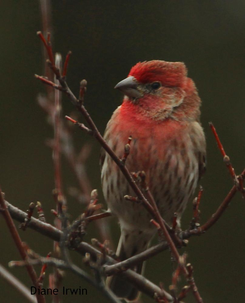 Photo in Animal #house finch #red bird #branches