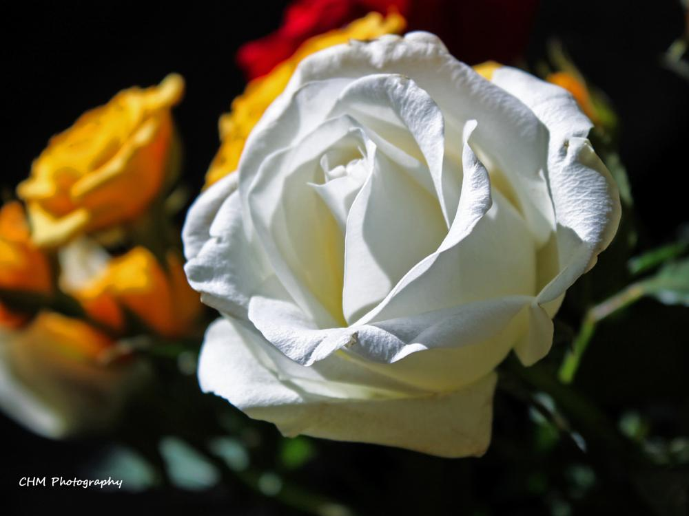 Photo in Nature #flowers #roses #floral #nature