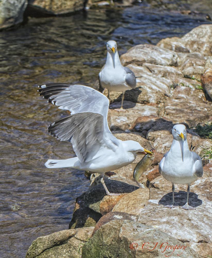 Photo in Nature #sea gulls #alewife #herring run