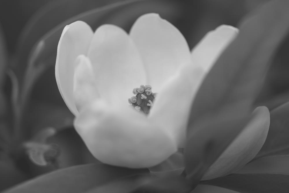 Photo in Nature #flower #magnolia #black and white #low contrast