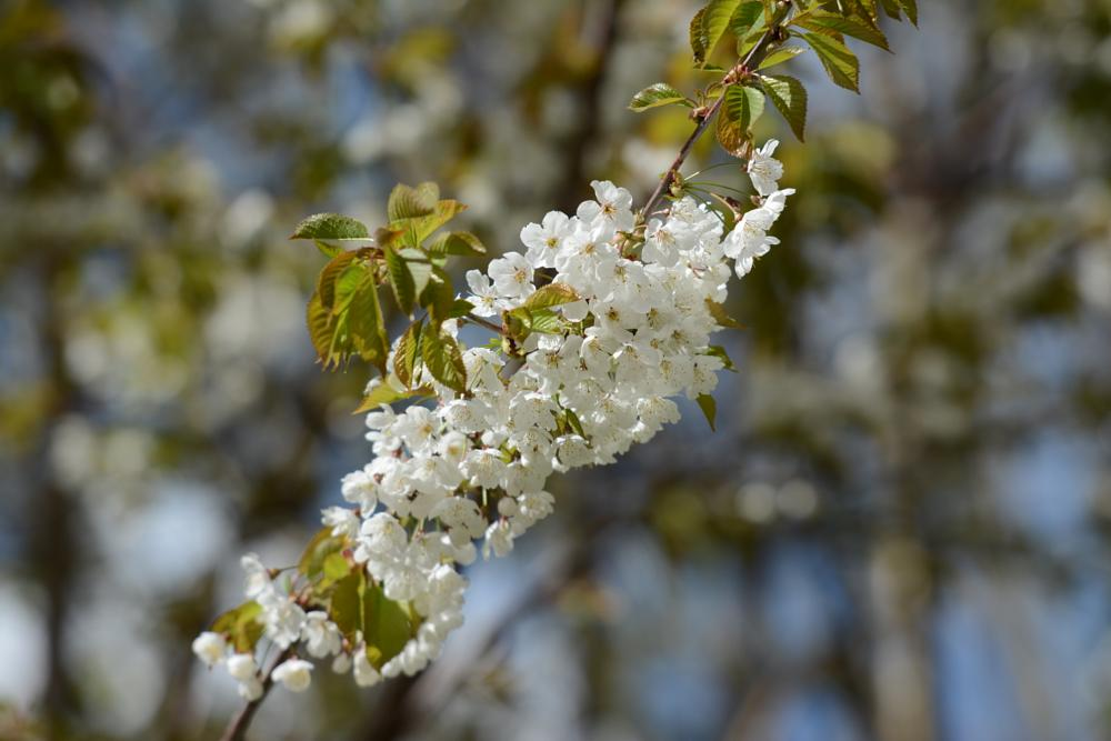 Photo in Nature #spring #white flowers #branch #nature