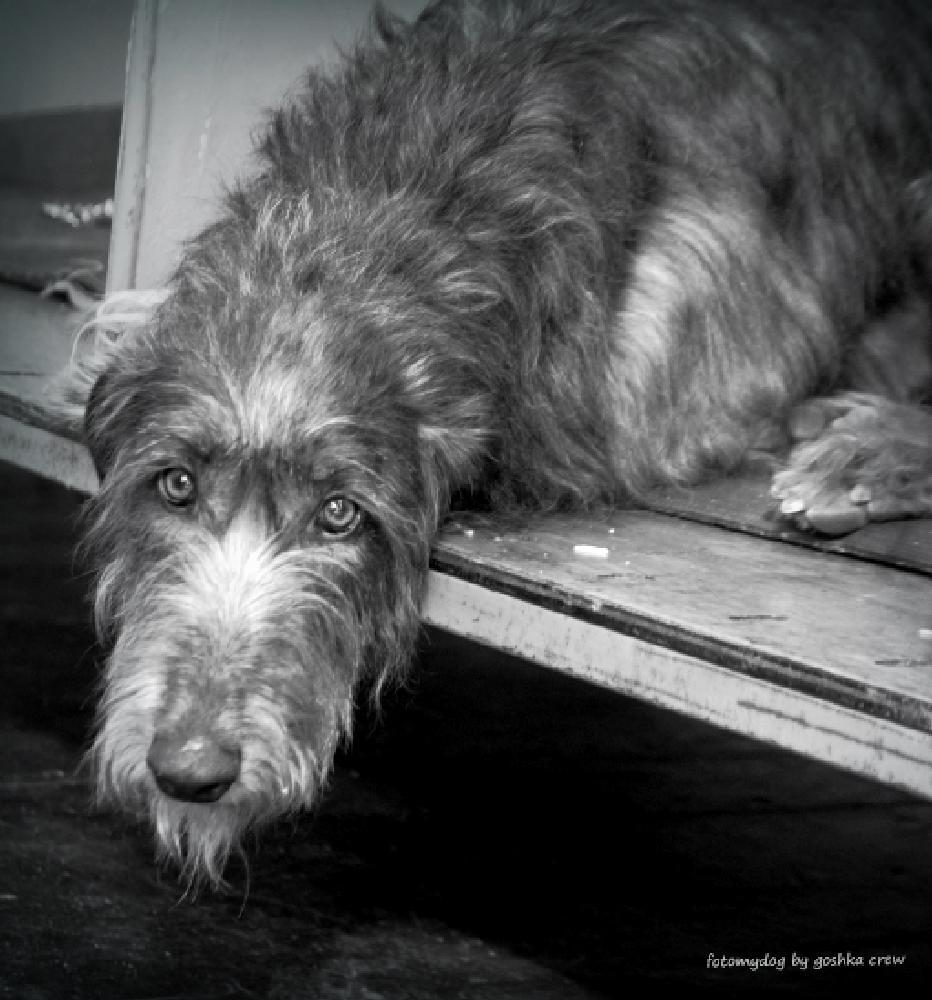 Photo in Animal #dog #animal #crufts #eyes