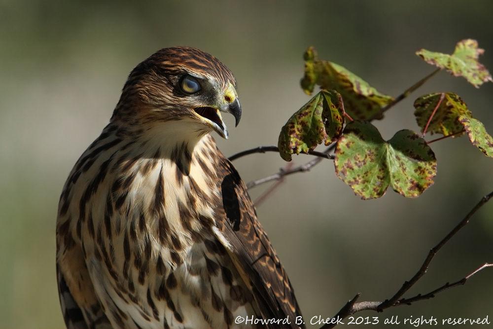 Photo in Random #avian #birds #hawk #cooper's #raptors #nictitating #membrane #eyelid #eye #covering #nature