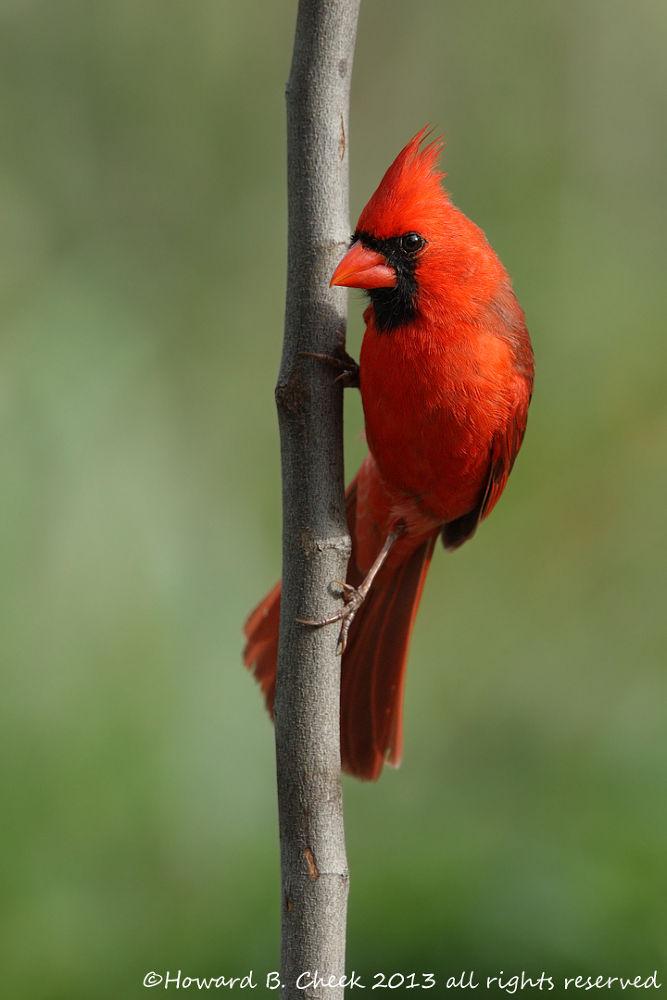 Photo in Random #avian #cardinal #northern #redbird #songbirds #nature #texas #male