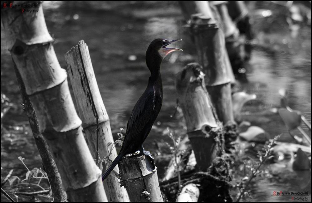 Photo in Random #cormorant bird #bird #cormorant