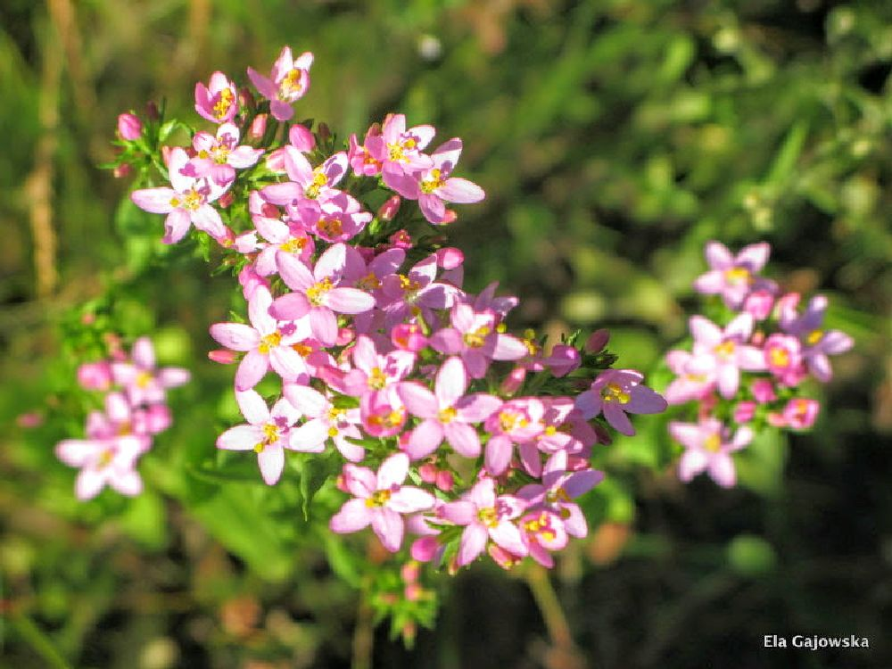 Photo in Nature #pink blossom #summer