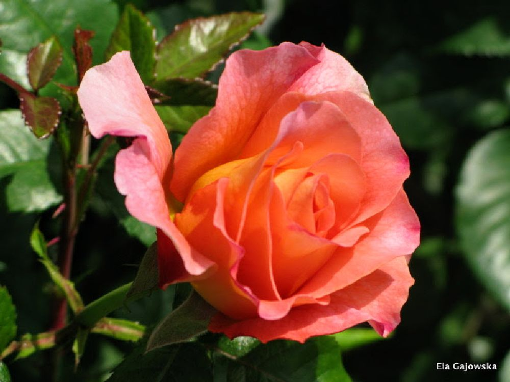 Photo in Nature #rose #flower #leaves