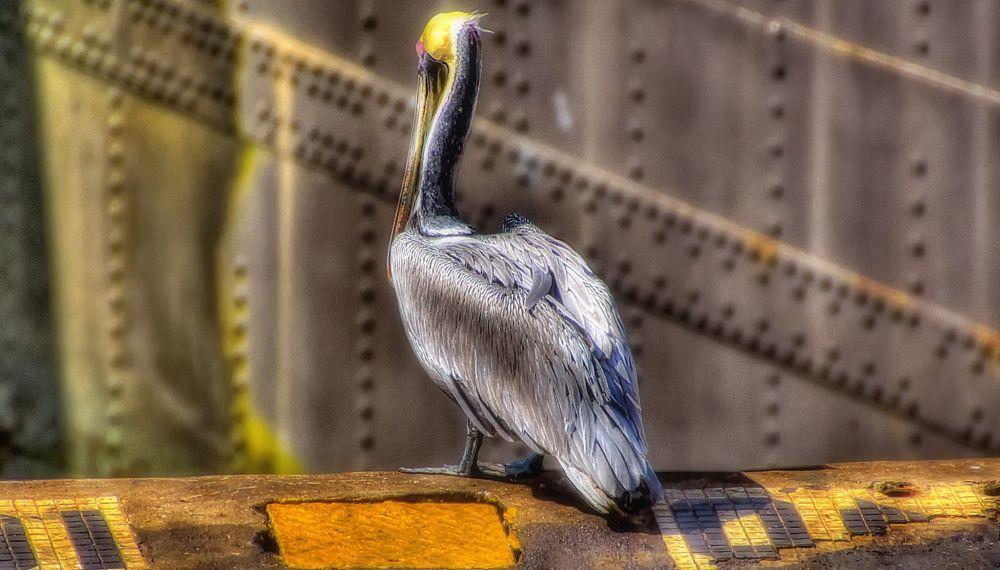Photo in Animal #pelican