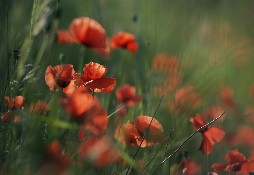 Photo in Nature #nature #flowers #meadow #summer #poppies