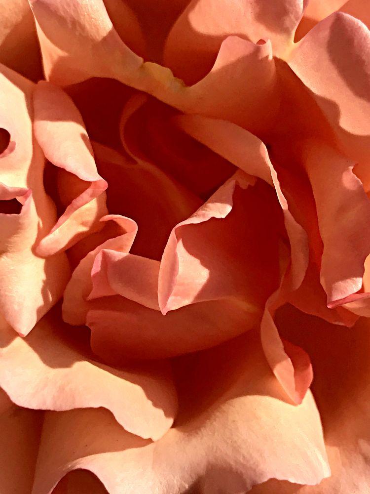 Photo in Nature #rose #petals #macro #photography