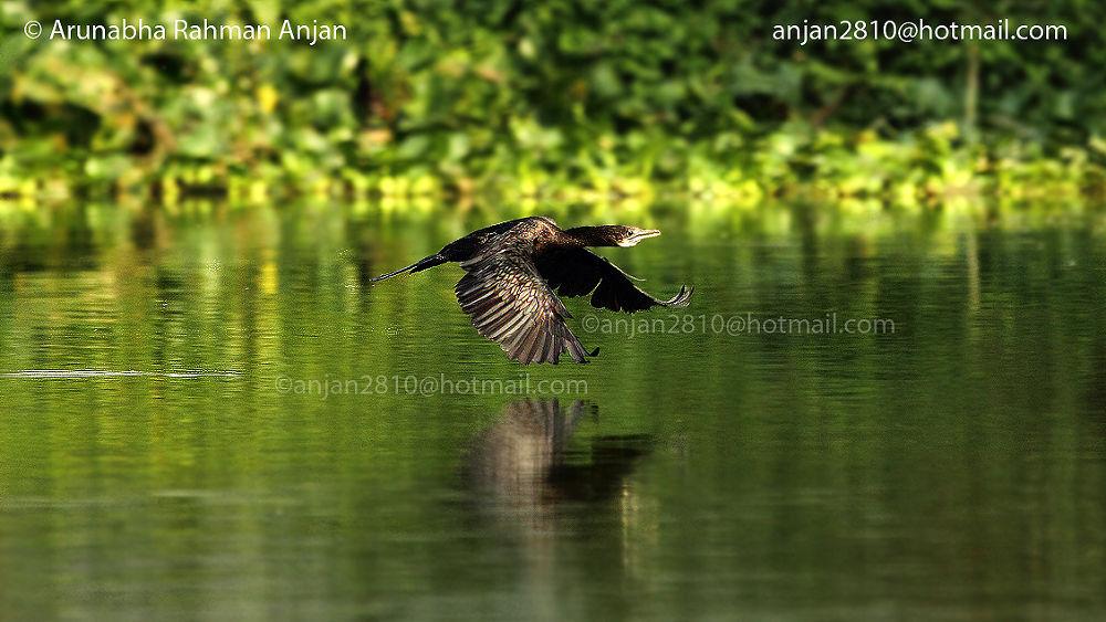 Photo in Nature #cormorant #bird #arunabha rahmann anjan #dhaka #bangladesh #jahangirnagar university