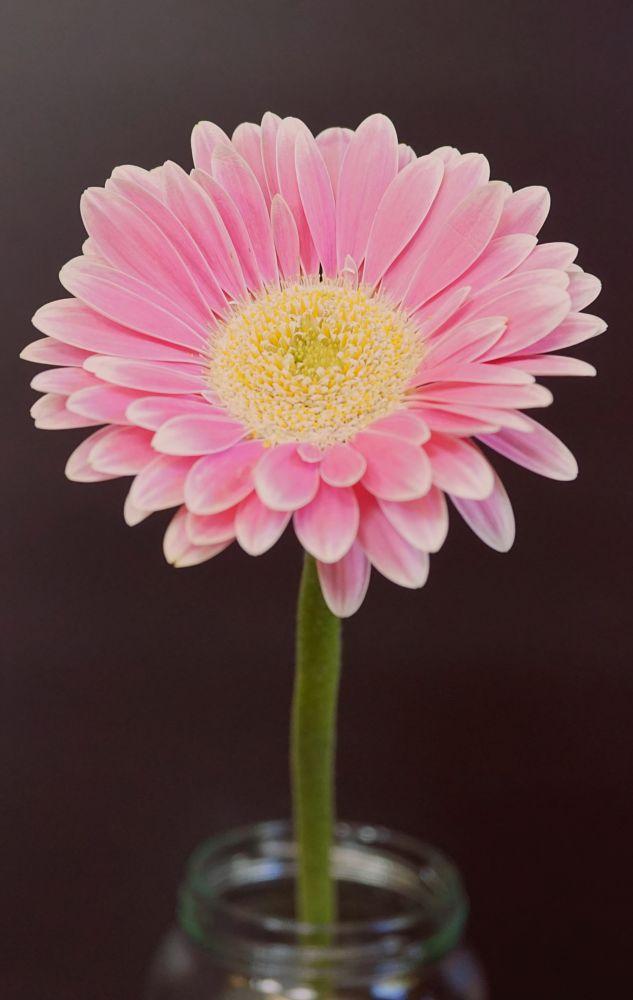 Photo in Macro #gerbera #flower #pink #jar #petals #stamen #close up #macro
