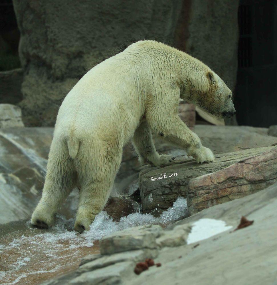 Photo in Animal #bear #animal #zoo #safari #wildlife #travel #canon