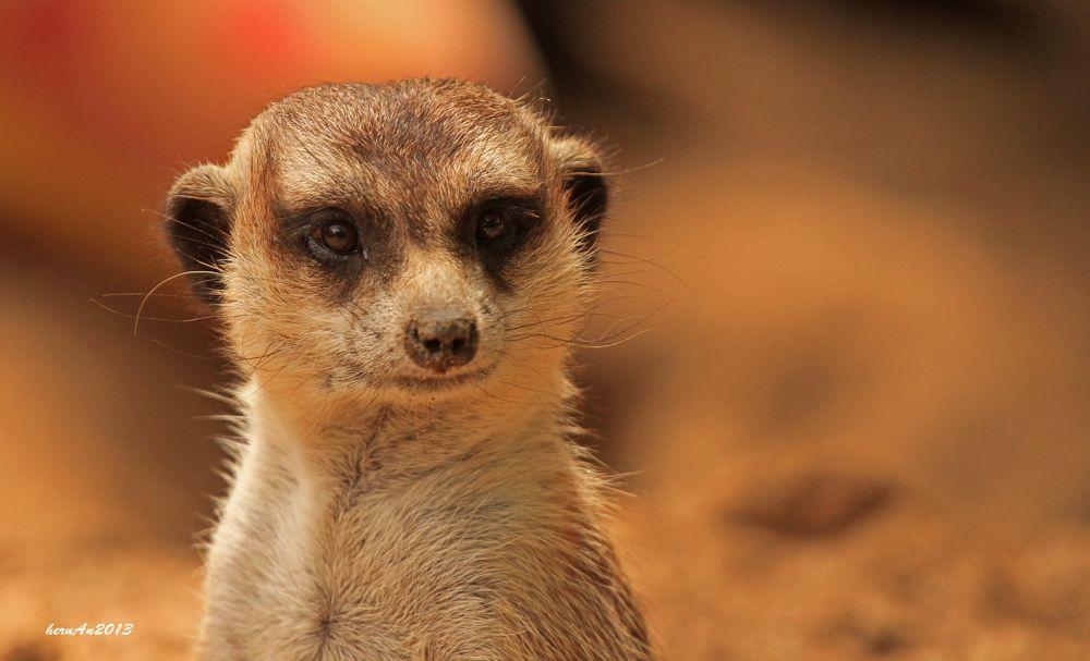 Photo in Animal #meerkat #animal #zoo #safari #photography #ypa2013 #portrait #wild #wildlife #canon #travel