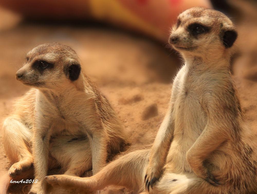 Photo in Animal #meerkat #cat #animal #wild #wildlife #zoo #safari #sentry #duty #canon #photography #travel #potrait