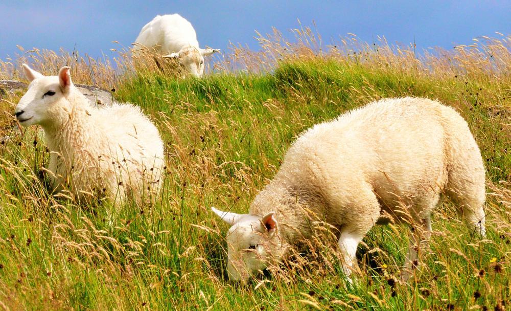 Photo in Animal #sheep #grass #nature