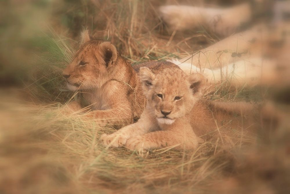 Photo in Animal #lions #cubs #south africa