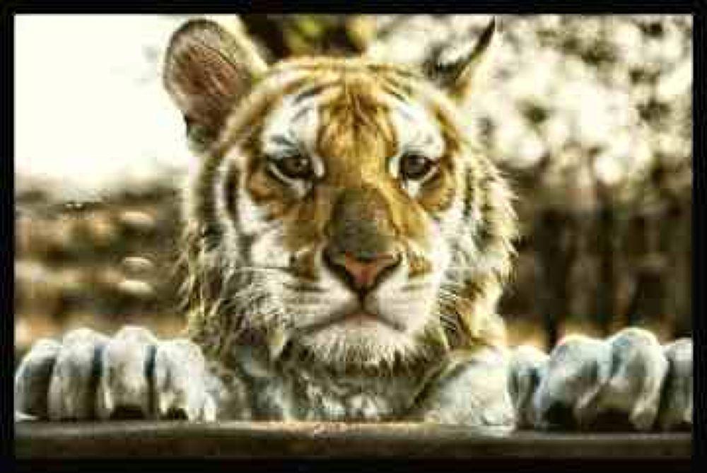 Photo in Animal #tiger #tabby tiger