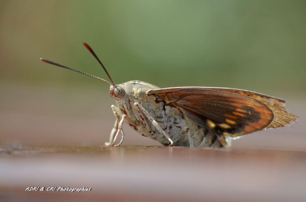 Photo in Macro #macro #nature #insectes #papillon