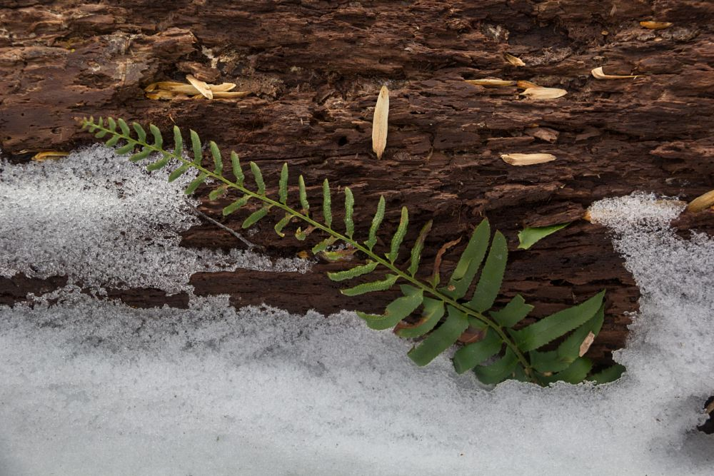 Photo in Nature #fern #log #snow #plant #wood