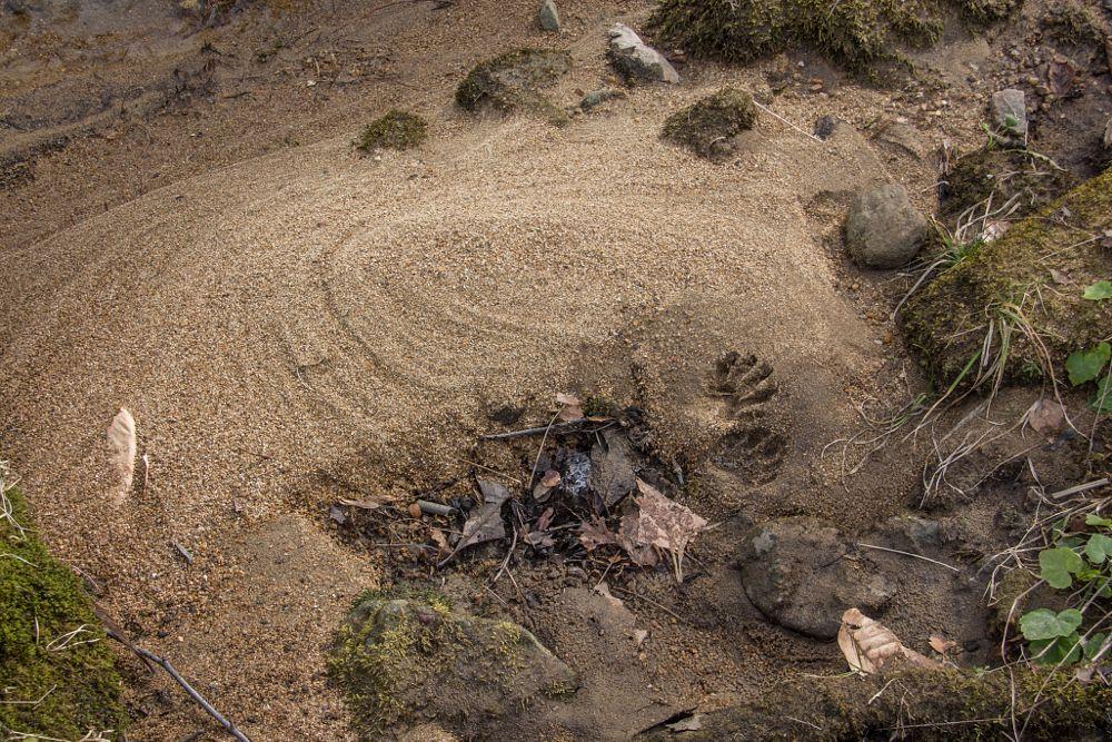 Photo in Nature #tracks #footprints #raccoon