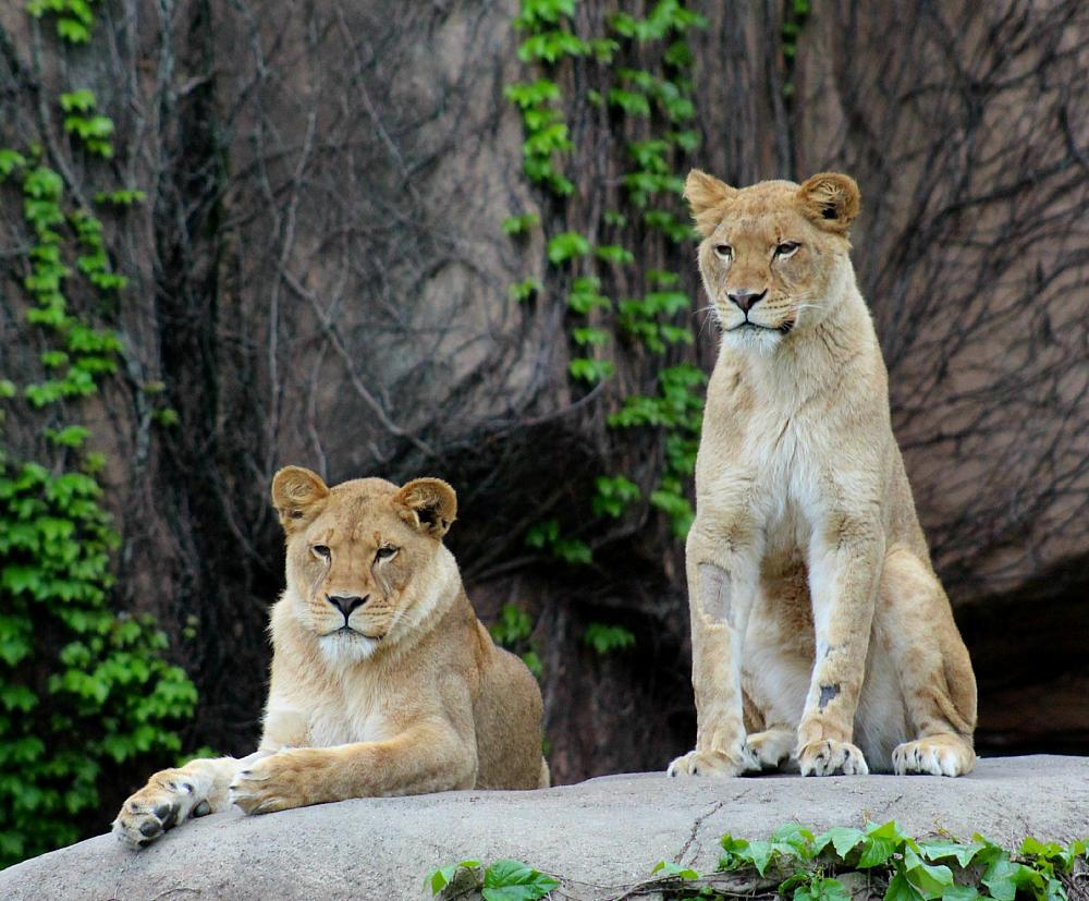Photo in Animal #lionesses #lincoln park zoo #chicago