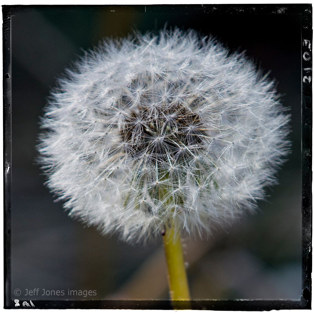 Photo in Macro #flower #dandelion #weed #nature #macro #closeup #nikon
