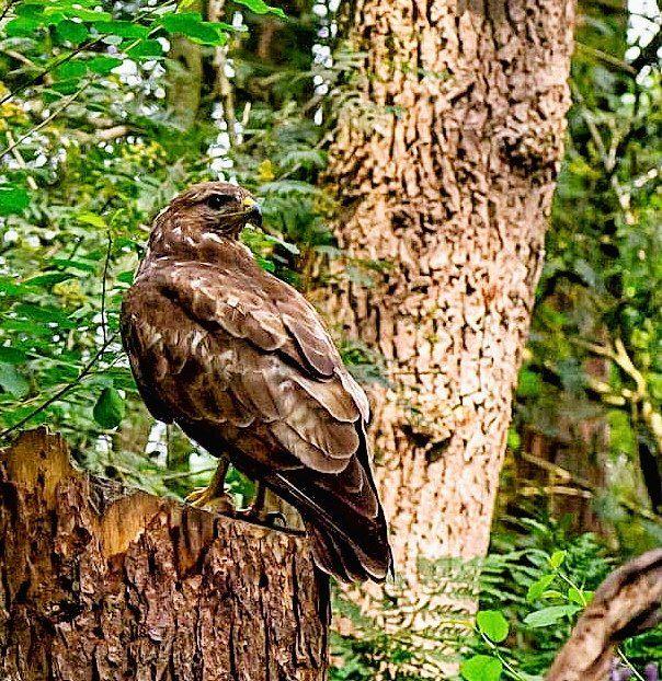 Photo in Random #buteo buteo #buizerd #bird of prey #common buzzard #roofvogel