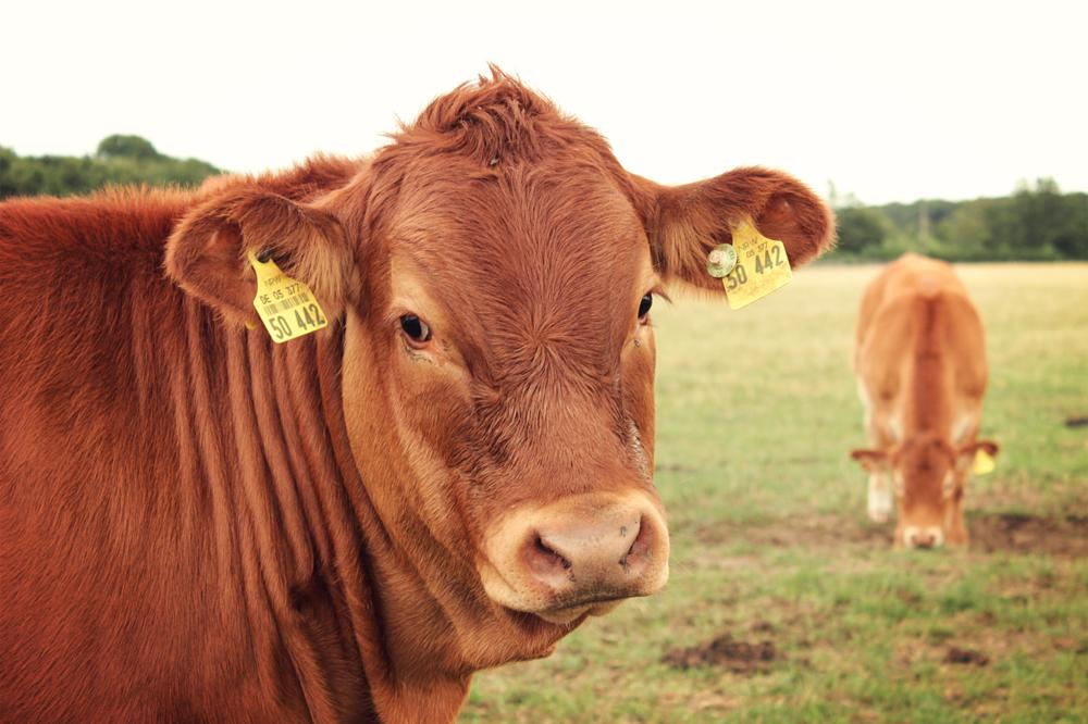 Photo in Nature #animal #beef #farm #nature #outside