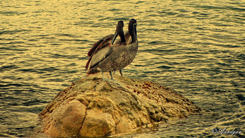 Photo in Animal #anadgar #aves