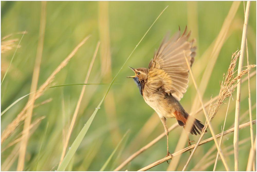 Photo in Random #bluethroat #blauwborst #vogel #bird #vertrekkend #departing #ochtendzon #morning sun