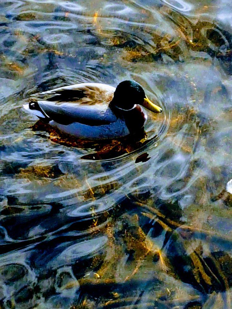 Photo in Nature #duck #mallard #wildlife