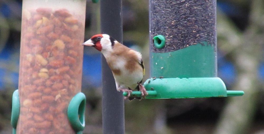 Photo in Animal #goldfich #goldfinch #birds #nature #somerset