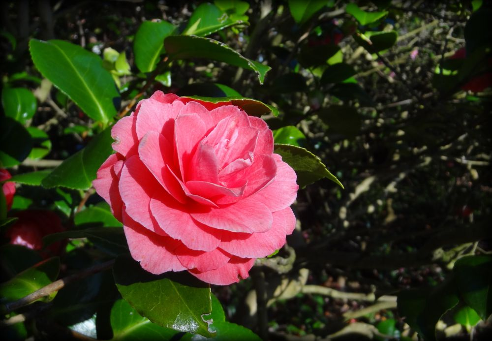 Photo in Nature #camellia #flower #pink #park #minehead #somerset