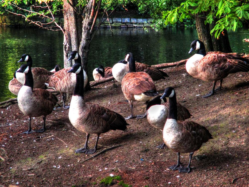 Photo in Random #geese #parks #hdr #yorkshire