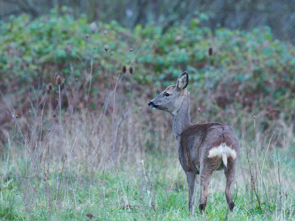 Photo in Nature #wildlife #nature #corza #amanecer #bosques