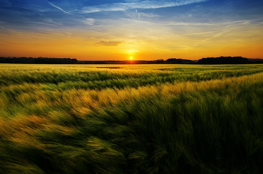 Photo in Landscape #nature #landscape #sunset #wheat #field