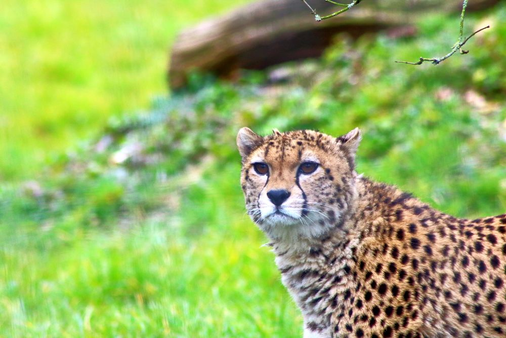 Photo in Animal #marwell zoo #lepard #wildlife #animals #nature