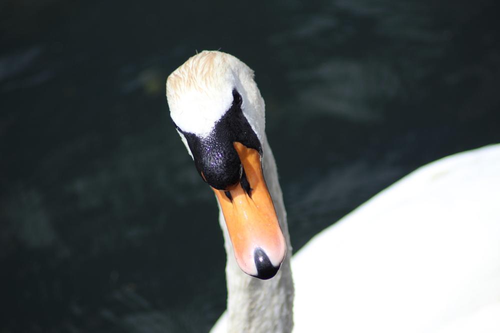 Photo in Animal #swan #cardiff